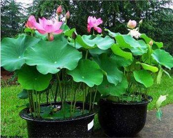 西安盆栽荷花如种植?看完这些你也可以种荷花